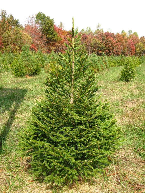 Real Pruned Norway Spruce Christmas Tree