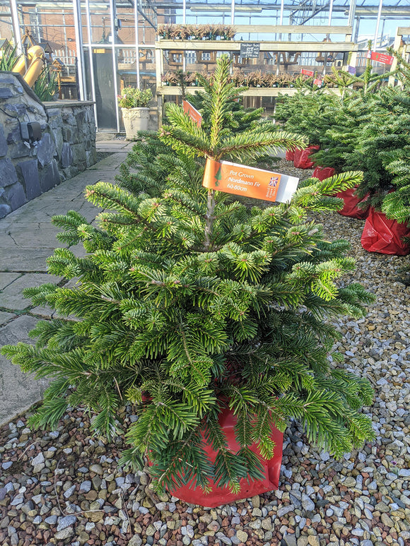 Real Pot Grown Nordmann Fir Christmas Tree