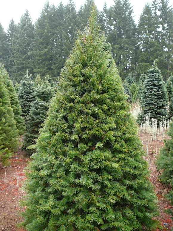 Real Christmas Tree Premium Fraser Fir 175-200cm