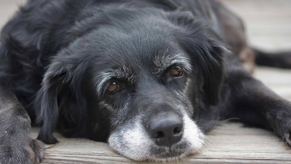 4 Dog Aging Signs You Need To Watch Out In Your Pooch