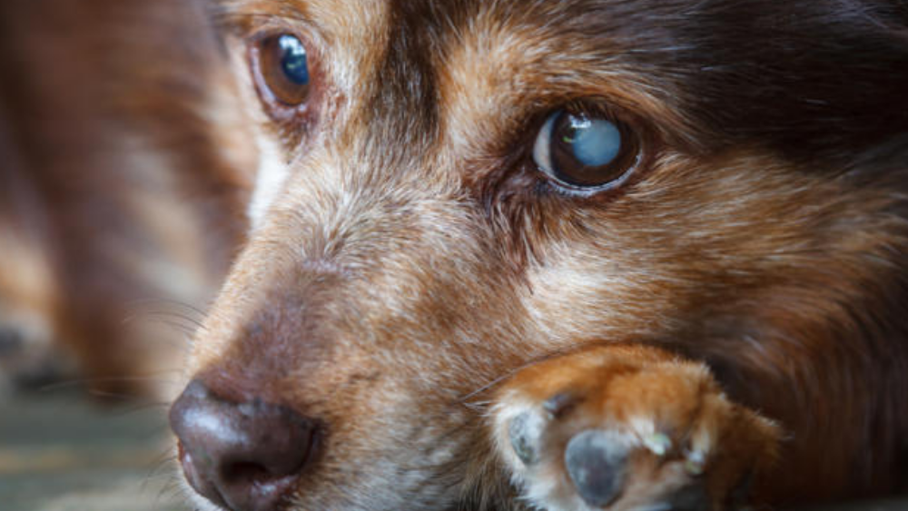 Things You Should Know About Cataract in Dogs