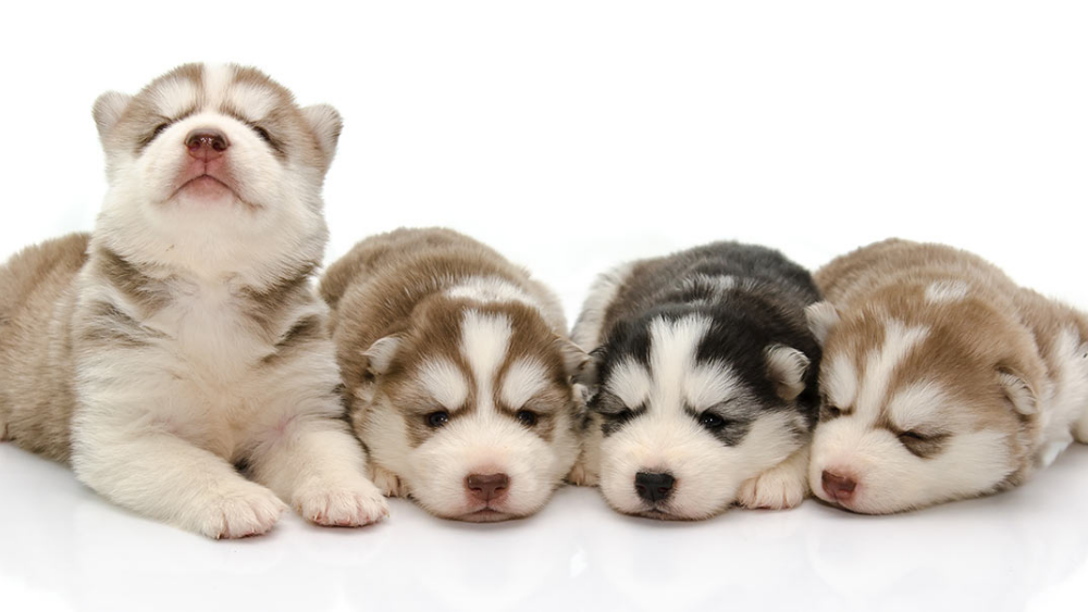 Tips to take care of a Siberian Husky