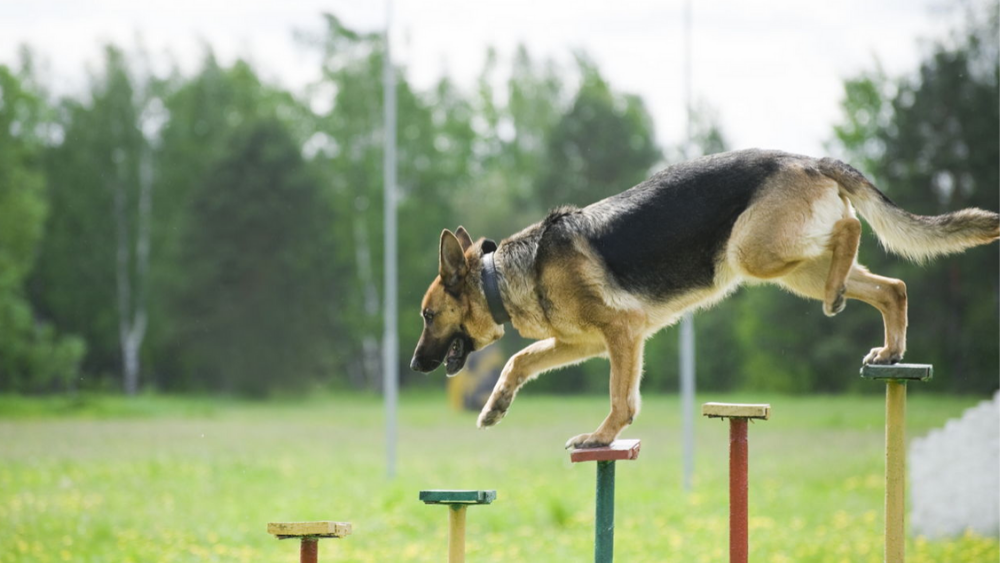 Here's how a german shepherd training can be done easily