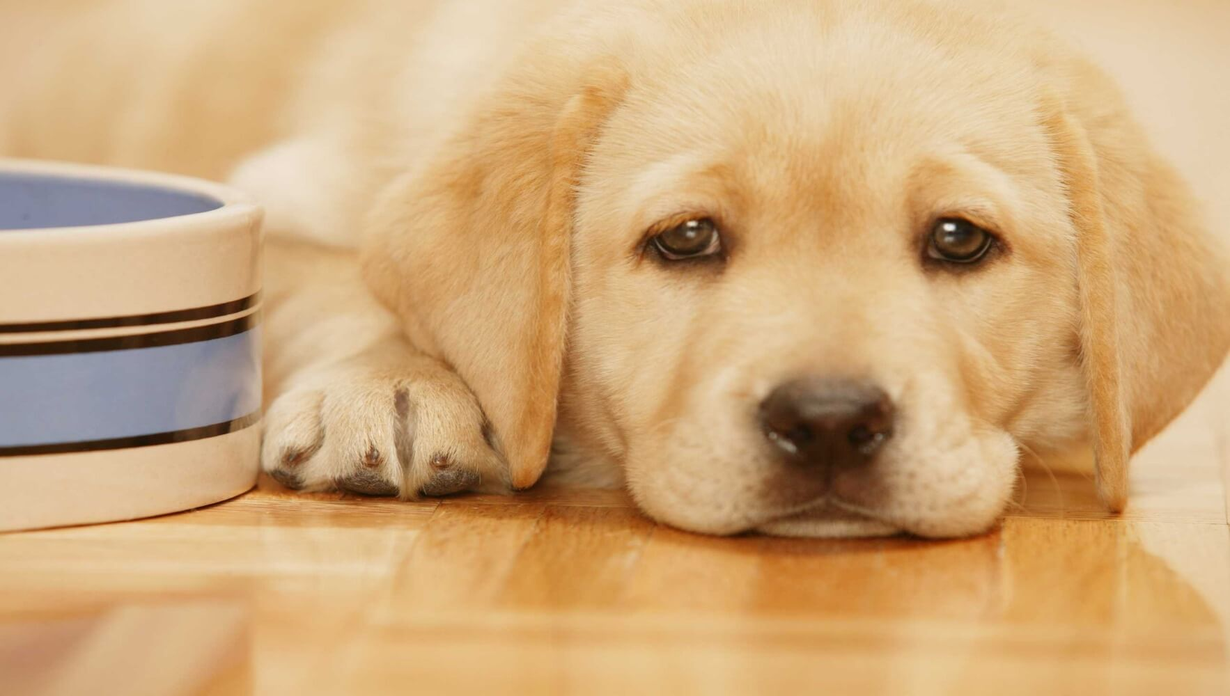 Tips to Feed a Labrador Puppy