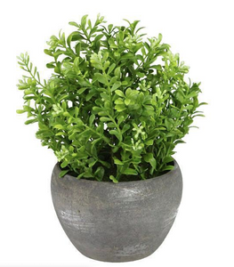 Potted Boxwood Bush