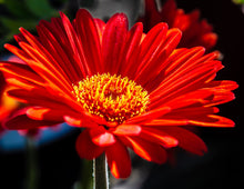 Load image into Gallery viewer, African Daisy #2
