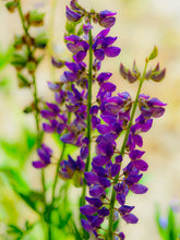 Load image into Gallery viewer, Arrowleaf Lupine