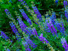 Load image into Gallery viewer, Field of Lupine