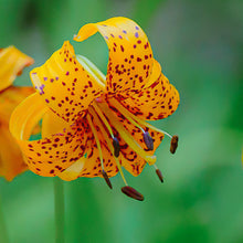 Load image into Gallery viewer, Kelley's Lily