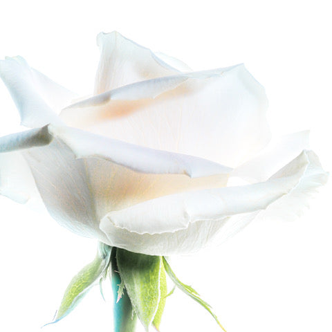 Morning White Rose