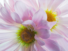 Load image into Gallery viewer, Pink Daisies