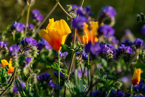 Poppy's and Lupine's