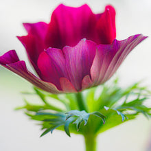 Load image into Gallery viewer, Poppy Anemone #2