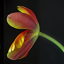 Load image into Gallery viewer, Tulip #2