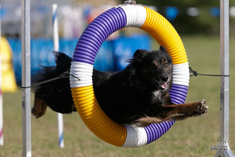 Buck jumping through the agility ring