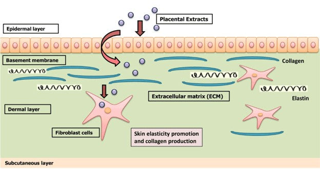 Placenta Extract Benefits Skin