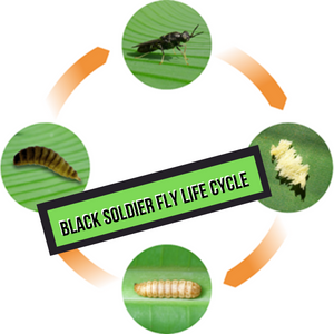 Black Solider Fly Life Cycle