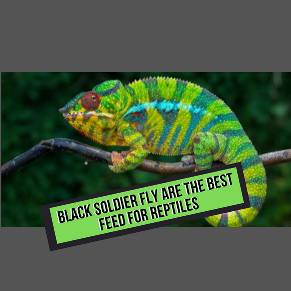 Black Soldier Fly Are The Best Feed for Reptiles
