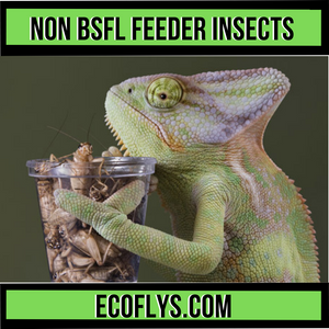 Other Feeder Insects