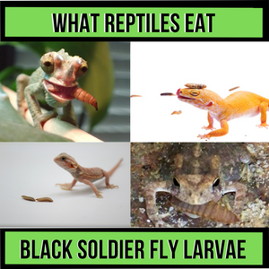 What Reptiles Eat Black Soldier Fly