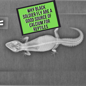 Why Black Solider Fly Are Such a Good Source of Calcium For Reptiles