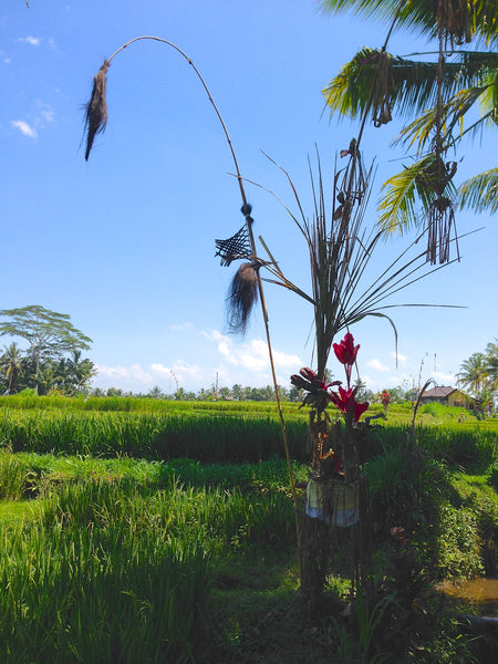 Offering in rice fields, Ubud, Bali