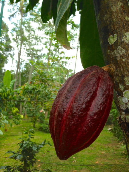 Cacao pod, coffee plantation, Bali