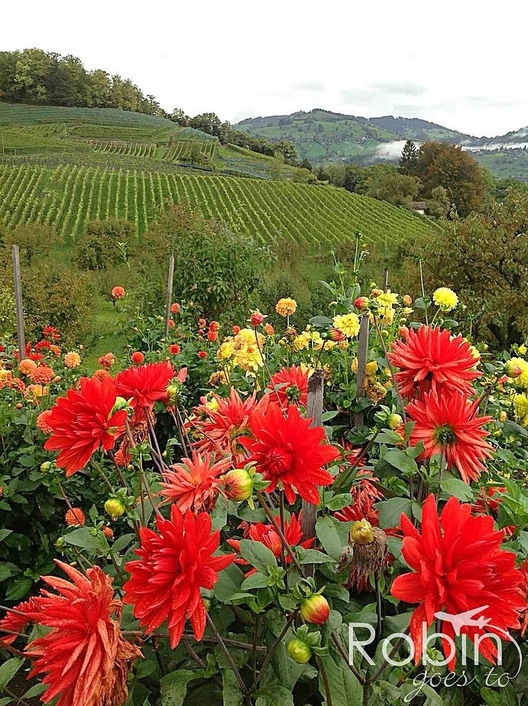 Vineyard, Spiez, Switzerland