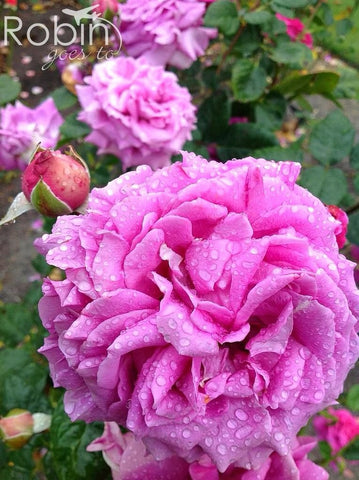 Purple rose, Blenheim rose garden, New Zealand