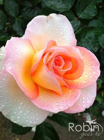 Pink rose, Blenheim rose garden, New Zealand