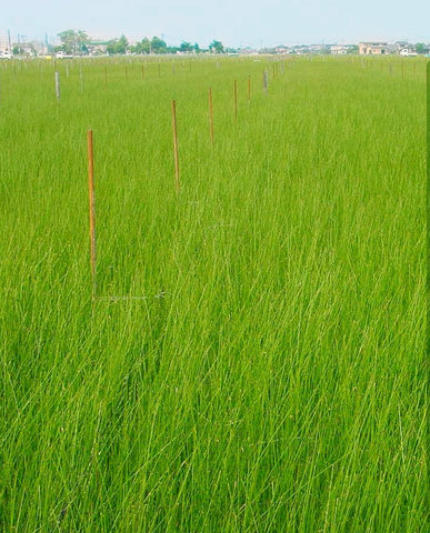 What are rushes?