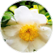 Camellia Sinensis Leaf Extract_
