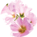 Althaea Officinalis Root Extract