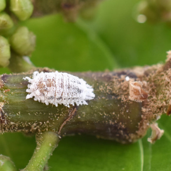 Mealybug Control with Cryptolaemus