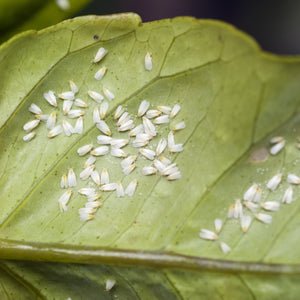 Whitefly Control with Eretmix