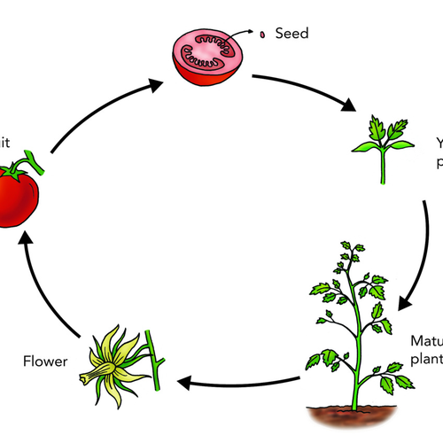 Learning about the plant life cycle is a fun science activity for kids you can do with Sphero programmable robots.