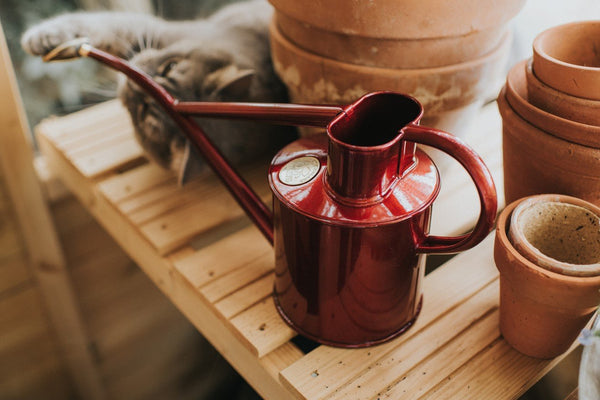 Haws Watering Can 1L in burgundy red next to plant pots and cat