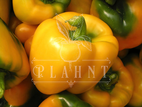 Yellow Pepper Organic Seeds