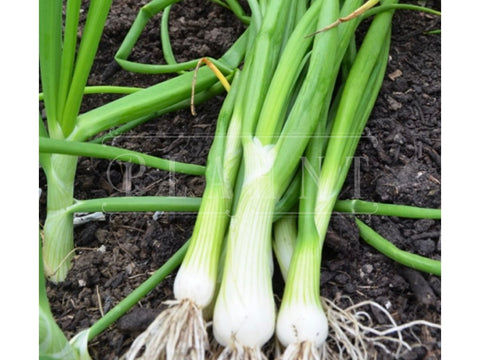 Organic Spring Onion White Lisbon Seeds