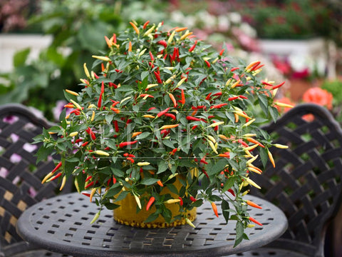 Basket of Fire Hot Pepper Plant Seeds