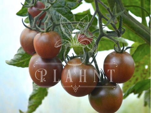 black cherry organic tomato seeds