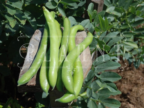Organic Broad Bean Seeds