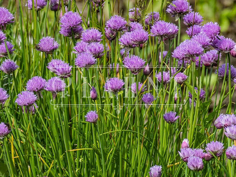 Organic Chives Plant Herb Seeds