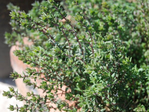 Organic Common Thyme Plant Herb Seeds