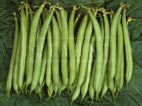 Organic Speedy Dwarf Green Bean Seeds