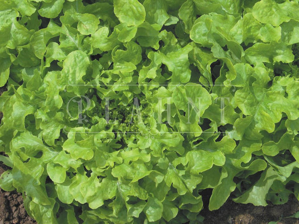 Green Salad Bowl Organic Lettuce Seeds
