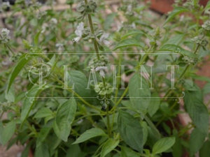 Organic lemon basil seeds