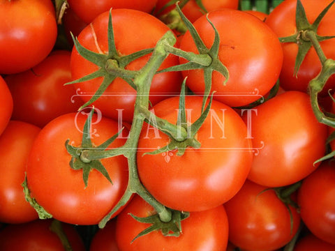 Organic Red Tomato Moneymaker Seeds