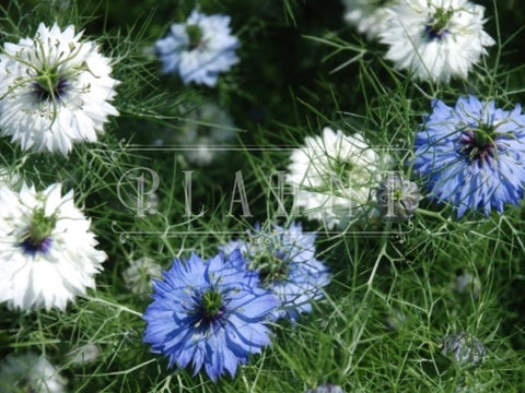 Organic Nigella love in a mist Flower Seeds