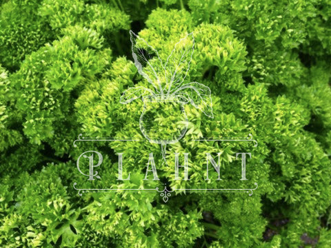 Parsley Moss Curled Organic Seeds